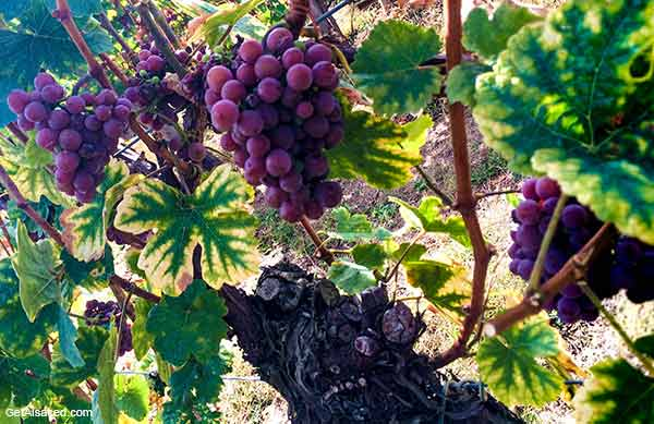 Alsace grapes in the vineyards in France