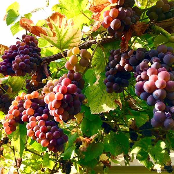 Alsace wine region grapes