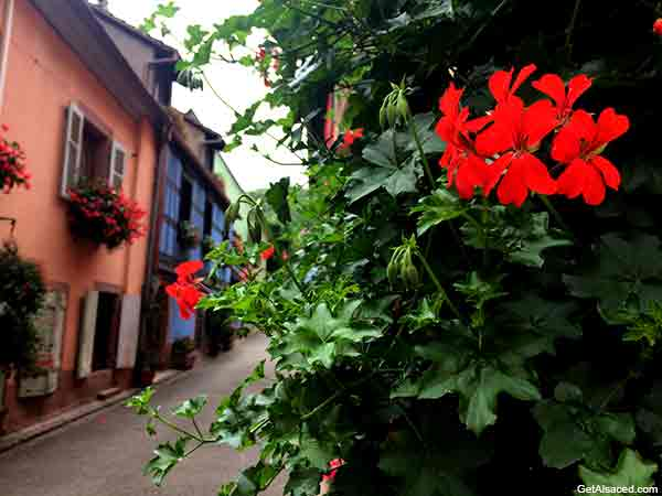 Flowers on the Alsace wine route