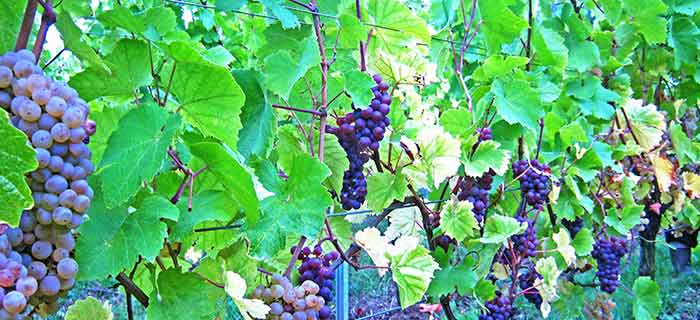 Grapes in the vineyards in the Alsace Wine Region
